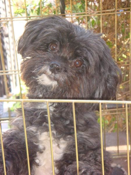 Lost black with small amount of white havanese/poodle mix